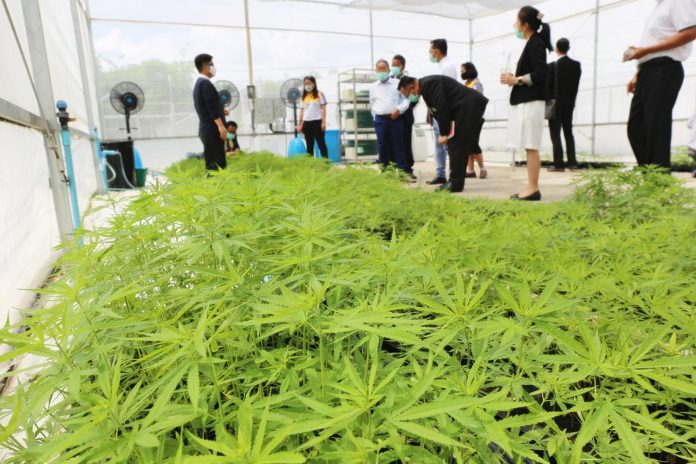 Cannabis Plants Buri Ram Hospital
