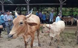 Livestock Chiang Rai