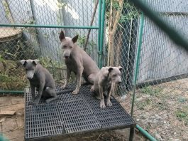 Jack Sterling Dog Farm Chiang Mai
