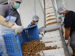 Longan Workers Lamphun